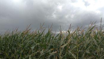 Santa Fe: maíz y soja se desarrollan a buen ritmo y en estado bueno a muy bueno