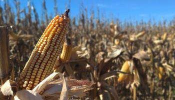 La cosecha de maíz terminó con volumen récord