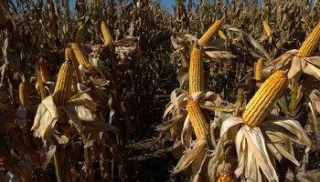 El manejo agronómico es la clave del éxito en maíz
