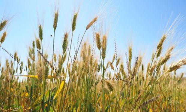 Crece la demanda de trigo desde Brasil.