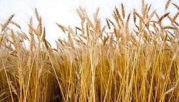 El trigo en Chicago busca recuperar el terreno perdido