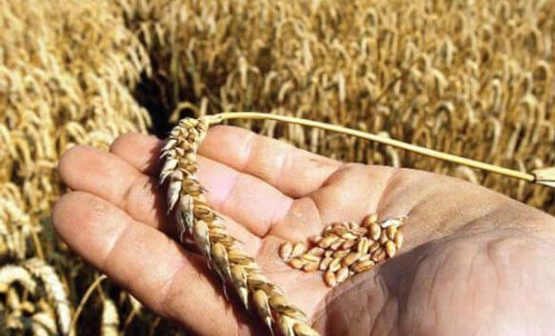 Es trigo que todavía ni se ha sembrado y –sin embargo- ya se ha negociado para su entrega en diciembre 2019 – enero 2020.