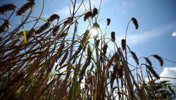 Récord: la exportación ya compró más trigo que en toda la campaña anterior
