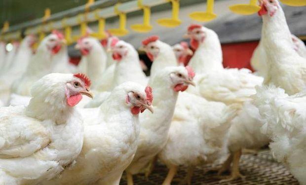 Destacan que la industria avícola argentina es una de las más eficientes del mundo gracias al control de calidad.