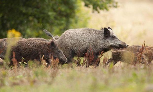 Alemania confirmó el primer caso de Peste Porcina Africana