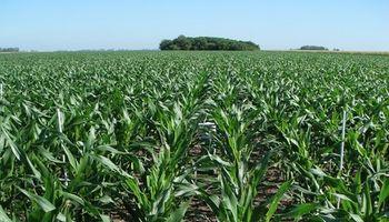 Hablemos de fertilización en maíz tardío