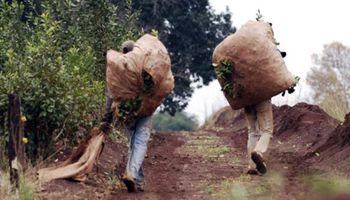 El INYM fijó los nuevos precios de la yerba mate