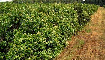 Sube 20% el precio para los productores de yerba, pero afirman que no llegará al público
