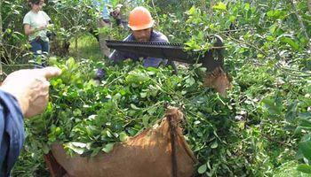 Yerbateros paralizan por 10 días cosecha misionera