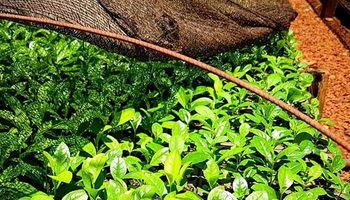 Senasa potencia la protección sanitaria de la yerba mate en Misiones